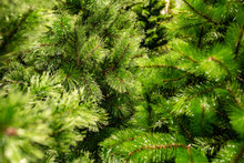 Coniferous Green Forest. Christmas Tree Branches Before The New Year