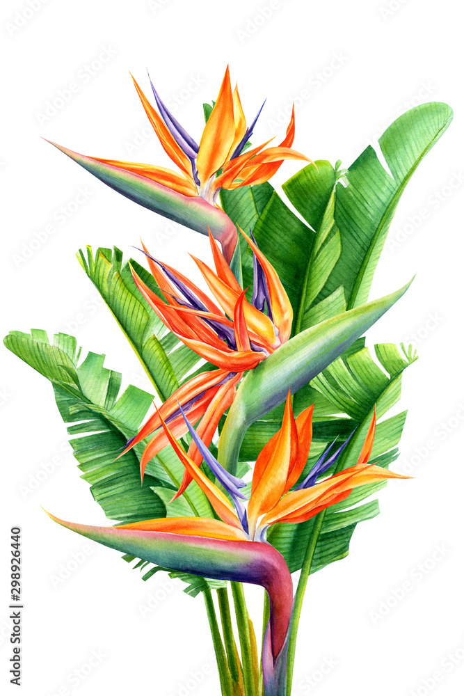 Fototapety, obrazy: bouquet of tropical flowers and leaves, Strelitzia reginae on an isolated white background, watercolor tropical plants, botanical illustration, greeting card, bird-of-paradise