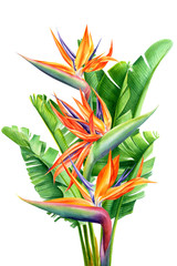 Fototapeta Do jadalni bouquet of tropical flowers and leaves, Strelitzia reginae on an isolated white background, watercolor tropical plants, botanical illustration, greeting card, bird-of-paradise