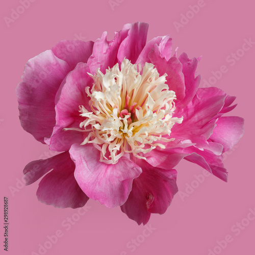 Pink peony flower isolated on pink background.