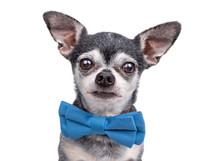 Cute Chihuahua Wearing A Blue ...