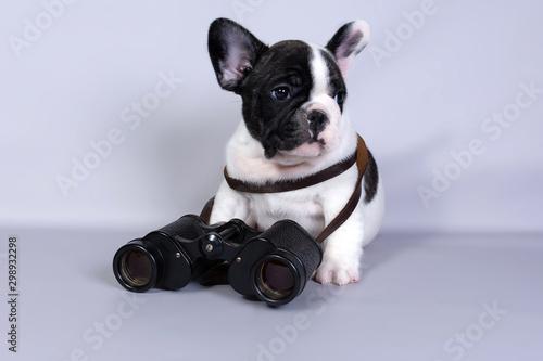 Fotografie, Obraz  French bulldog puppy with binoculars on grey background