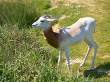 Dama Gazelle (Gazella Dama) St...
