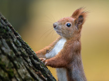 Red Squirrel Autumn Portrait