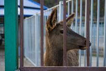 Little Deer Behind Bars In A Zoo