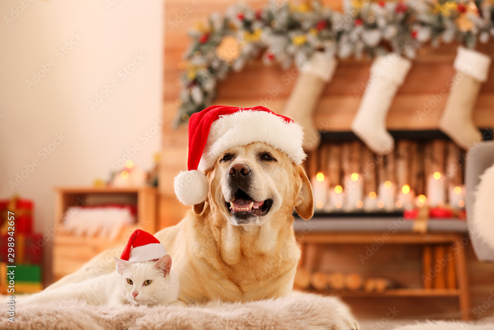 Fototapeta Adorable dog and cat wearing Santa hats together at room decorated for Christmas. Cute pets