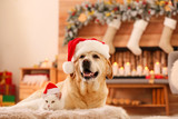 Fototapeta Zwierzęta - Adorable dog and cat wearing Santa hats together at room decorated for Christmas. Cute pets