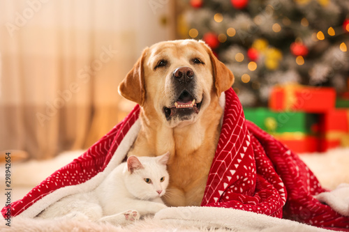 Obraz Adorable dog and cat together under blanket at room decorated for Christmas. Cute pets - fototapety do salonu