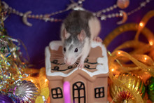 Cute Gray Domestic Rat In A Ne...