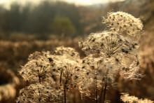 Cattail Fluff On Dry Wild Flow...