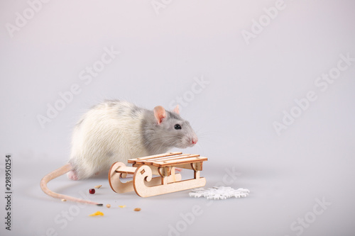 Fotografie, Obraz  rat beautiful gray on a white background