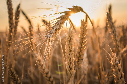 Obraz ears of wheat - fototapety do salonu