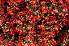 Blooming Begonia Red Flowers I...