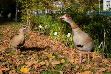 Egyptian Goose (Nile Goose) In...