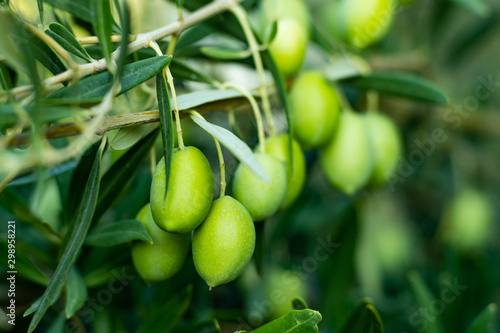Poster Olijfboom close up of green olives on a branch
