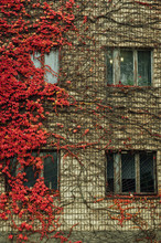 Grapes On The Wall Of The House. Autumn Landscape Of Grapes With Red Leaves Around The Windows