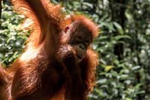 Primer Plano Orangutan En Borneo