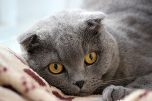 Portrait Of A Scottish Fold Gray Cute Cat