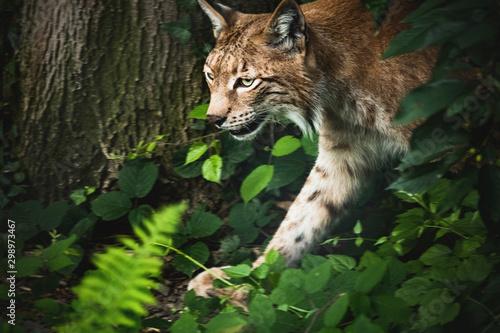 Poster Lynx Luchs