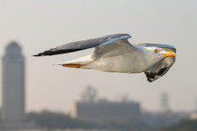 The White Seagull Soaring Over...