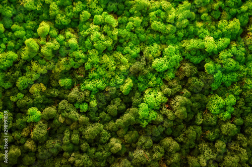 Recess Fitting Macro photography Reindeer green moss texture for decoration, creative background.