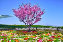 春の満開の桜が咲く港...