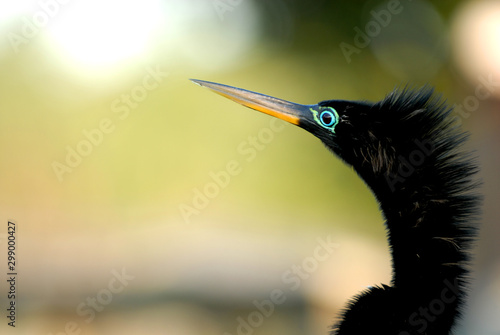 Anhinga Tonight Wallpaper Mural