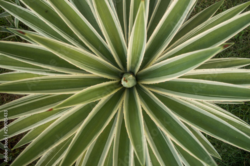Garden Poster Palm tree Planta Piteira do Caribe