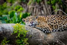 Close Up Of A Sleepy Jaguar Resting Flat On A Tree Trunk, Head To Camera, Pantanal Wetlands, Mato Grosso, Brazil