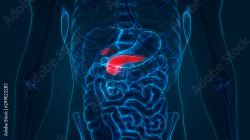 Human Internal Digestive Organs Pancreas with Gallbladder Anatomy