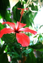Hibiscus Flower On Green Background Of Leaves