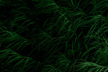 Natural Tall Grass Texture In Low Light Using For Background