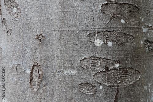 Tree bark texture of Fagus sylvatica or European beech Canvas Print