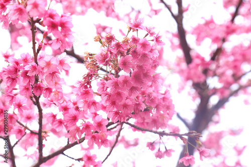 Wall Murals Candy pink Vintage sakura or cherry blossom