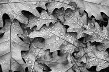 Fallen Oak Leaves In Drops Of ...