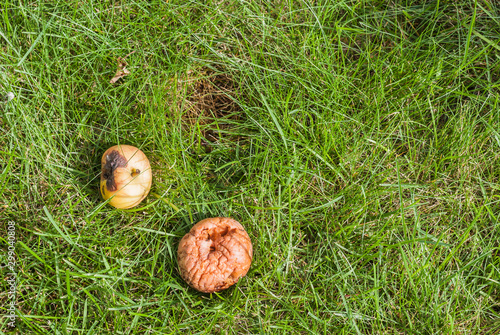 Valokuvatapetti Rotten apples that has fallen from an apple tree lying in high green grass