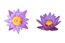 Beautiful Two Purple Lotus Flowers Are Blooming With Bee On Pollen Isolated On White Background.Clipping Path Included.Above And Front View.Autumn Season.Aquatic Plant.