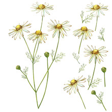 Chamomile Or Daisy Bouquets, White Flowers. Realistic Botanical Sketch On White Background For Design, Hand Draw Illustration In Botanical Style.