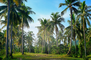coconut plam tree plantation in green and blue sky in summer for background