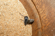 Two Gray Pests Little Mice Cli...