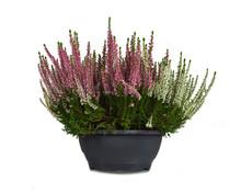 Heather Flowers In Flowerpot I...