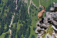 Male Alpine Capra Ibex Caprico...