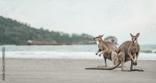 In de dag Kangoeroe Kangaroos watches the Ocean at the Beach