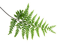 Fern Leaf, Ornamental Foliage,...