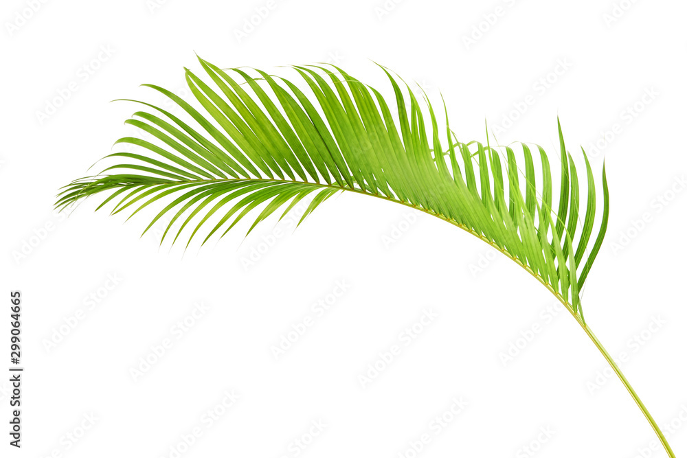 Fototapety, obrazy: Yellow palm leaves, Golden cane palm, Areca palm leaves, Tropical foliage isolated on white background with clipping path