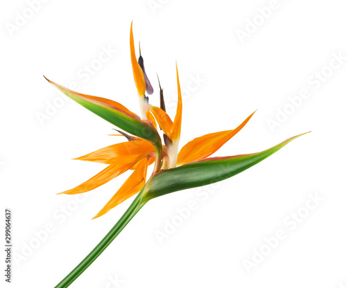 Tuinposter Bloemen Strelitzia reginae flower, Bird of paradise flower, Tropical flower isolated on white background, with clipping path