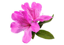Azaleas Flowers With Leaves, Isolated On White Background With Clipping Path