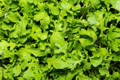 Valokuvatapetti Fresh Rocket, crisp wet leaves growing.