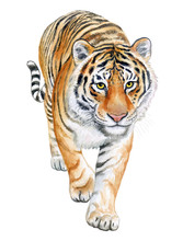 Tiger Walking Isolated On White Background. Watercolor. Illustration. Template. Handmade.