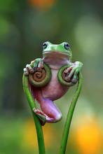 Australian White Tree Frog On ...